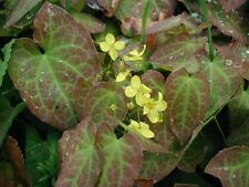Epimedium pinnatum perennial plant ideal ground cover any aspect 9cm pot