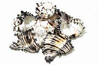 "Black Murex Phyllonotus erythrostomu Hermit Crab Sea Shell 5"" - 6"" (6 pcs)#JC-35"