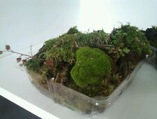 **BONSAI / TERRARIUM MOSS 1kg LARGE  FRESH TASMANIAN FOREST MOSS***
