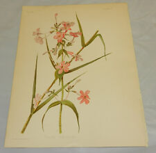 1901 Antique COLOR Prang Print/PHLOX MACULATA/Spotted Phlox Flower