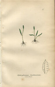 THREE Exquisite SOWERBY Antique FERN Print Engraving MINMALIST 1855 - Hand col