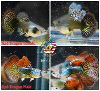 5 PAIR - Live Aquarium Guppy Fish High Quality - Red Dragon Halfmoon BDS