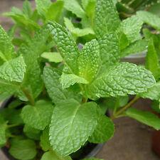 500pcs Spearmint Mint Seeds Mentha Herb Green Flower Seeds Home Decor L7S