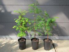 Metasequoia glyptostroboides - Urweltmammutbaum Pflanze 60-80cm Frost