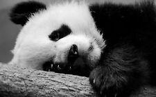 Incorniciato stampa-WILD PANDA BEARFOOT riposo (FOTO POSTER animale carino ART)