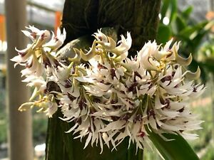 SE ASIA MINIATURE DENDROBIUM ORCHID SPECIES peguanum BS plant mounted, spike!