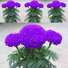 GUT 100 Pcs Tagetes lila blaue Samen Hausgarten Blumen Pflanzensamen