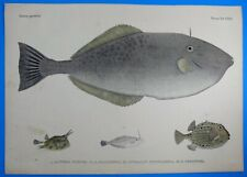 Fauna Japonica Pisces Gravure ALUTERA CINEREA OSTRACION 1842 Kawahara Keiga