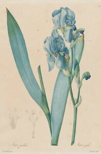 Pierre Joseph Redoute Dalmatian Iris Giclee Art Paper Print Poster Reproduction