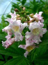 Chitalpa taschkensis Summer Bells, Baumoleander 80-100cm