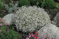 1500 Baby'S Breath White Flower Seeds,Gypsophila + Free Gift*