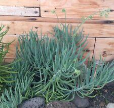 SENECIO MANDRALISCAE Esqueje de Planta suculenta viva 15 cm Cutting Succulent