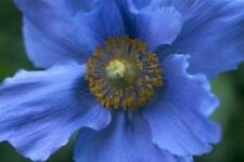 Fairy Flower Seeds x20 seeds MECONOPSIS Grandis Blue Poppy Flower Seed