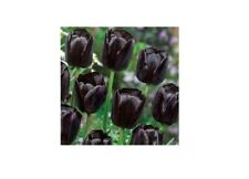 Black Bulbs Queen of the Night Tulip Fragrant Perennial Resistant Bride Flowers