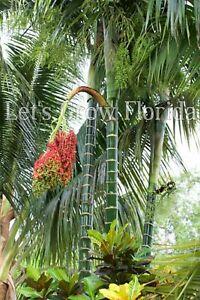 Dypsis pembana Palm Tree Seedlings & Seed
