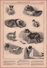 FOX TERRIER DOG TRICKS COLLIE to get BONE, antique engraving original 1889