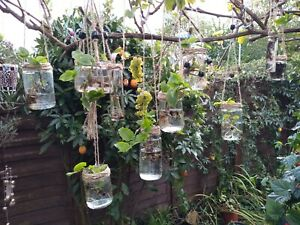 1 x Hanging Glass Plant hydroponic tradescantia trailing indoor gift beautiful