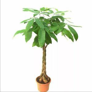 Money Tree Pachira Aquatica Malabar Chestnut Seeds