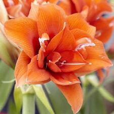 2Pcs Amaryllis Bulbs Bonsai Plant Garden Decor Seeds Hippeastrum Flower Home New