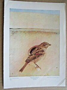 1900 ANTIQUE ENGLISH SPARROW BIRD LITHOGRAPH PRINT