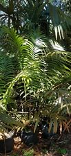 Cycad ceratozamia robusta palm 7 gal. plant 6 feet tall!  local pickup only