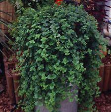 6 Trailing Indian  Mint  Herb Perennial Plug  Plants