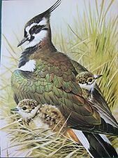 BASIL EDE BIRD PRINT ~ LAPWING WITH CHICKS