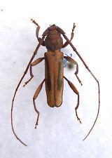Beetle,Cerambycidae ex TOGO, Afrika, K1/5