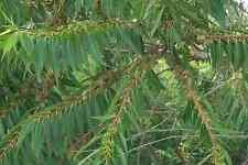 Eucalyptus bothroydes (20 graines )