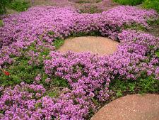 400 Graines de Thym Serpolet Violet / Pourpre Rampant / Herbe Vivace Aromatique