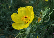 Argemone Mexicana 25 Seeds Mexican Yellow Prickly Poppy Medicinal Perennial Herb