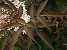 SAMBUCUS 'MILK CHOCOLATE' Soft Reddish-Brown Foliage White Flower - PLUG PLANT