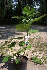 Texas Everbearing Fig Tree Healthy Garden Plants Plant Figs Trees Eat Fruit