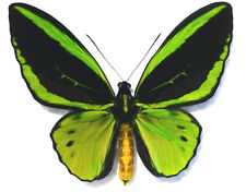 NEW: Butterfly ORNITHOPTERA PRIAMUS TEUCRUS (male, Biak)