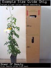 Bower Of Beauty - Southern Belle (Pandorea Jasminoides) Tree Plant