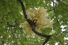 1 Plant Aesculus Hippocastanum Ippocastano Castagno d'India Horse-chestnut