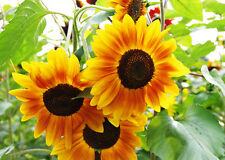 Sunflower Seed 20 Seeds Multicolor Helianthus Annuus Flower Garden Seed Hot A142