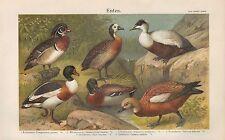 Chromo-litografía 1905: patos. novia-viudas-eider-Brand - Stock-óxido-Pato