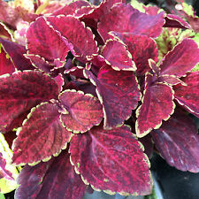 Kingswood Coleus colourful foliage indoor house plant in 100mm pot