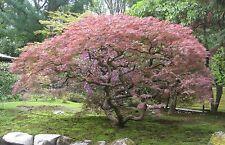 Laceleaf Japanese Maple Seeds. 3 Dissectum Varieties. 75 Seeds! Acer palmatum