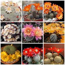100 semillas mezcla Aylostera , cactus mix, plantas suculentas,seeds mix S
