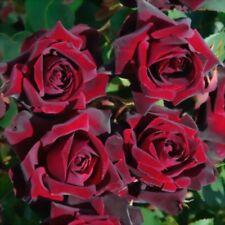 Le Rouge et le Noir rose - 5 semigreen steem  cuttings- rare and unusual