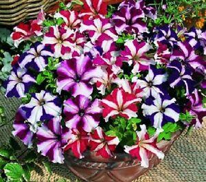 Petunia compacta nana Stars Mix - 1000 Standard seeds - Annual