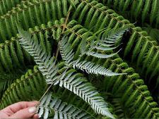 NZ Silver Tree Fern (Cyathea Dealbata) 1000 Spores