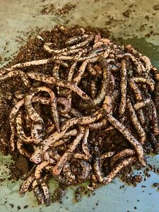 Live Lob Worms Fishing Bait Worms Live Food (100 worms approx 500 grams)