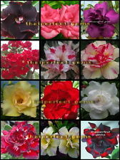 "NEW!! ADENIUM ""Mixed 12 Type RARE "" 105 Seeds !"