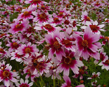 50+ Coreopsis American Dream Flower Seed / Self Seeding Annual
