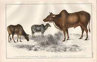C1850 Goldsmith Cuvier Estampado ~ Masculino & Hembra Zebu & Pequeño Zebu