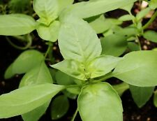 200+ Lime Basil Herb Seeds- Heirloom Variety '18   $1.69 Shipping Max. Per Order
