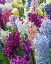 10 Mixed Hyacinth Huge Bulbs  Highly Fragrant Indoor/Outdoor S pring Perennial